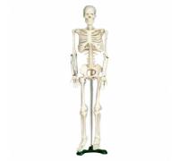 Модель для акупунктуры - Скелет (85см)